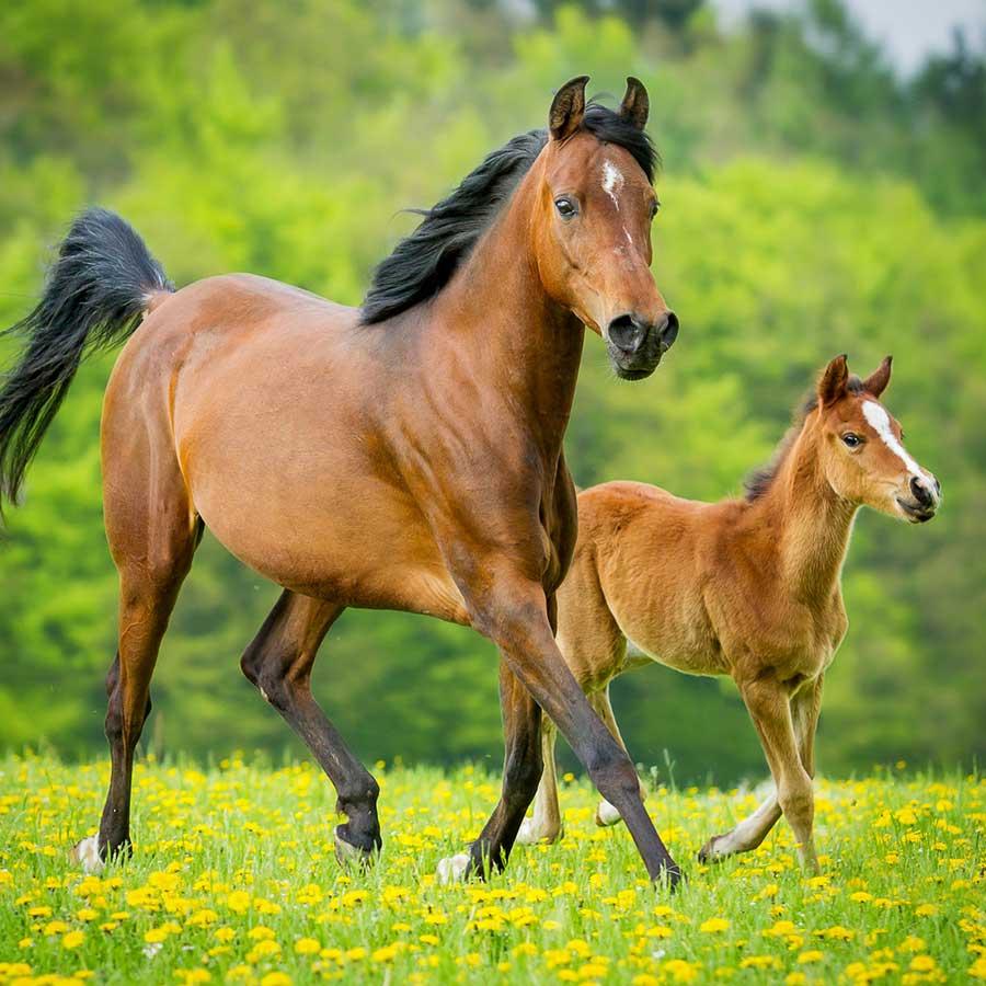 echobell-pferd-fohlen